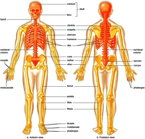 Major bones of the skeleton