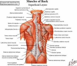 All major muscles of the body are tested for functionality